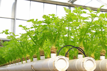 Soilless cultivation of green vegetables