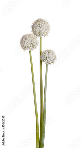 Three flower heads of onion (Allium cepa) on white
