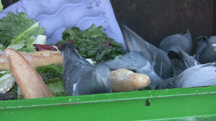 Pigeon pecking at bread in a compost bin. Vancouver, BC, Canada.