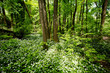 canvas print picture - Wald mit Bärlauch