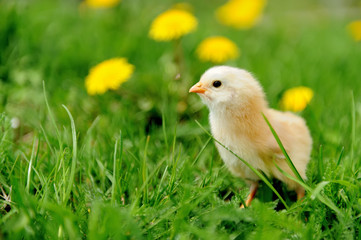 Little chicken on the grass