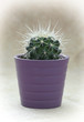 Green prickly cactus in purple pot