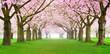 Kirschblüten Panorama
