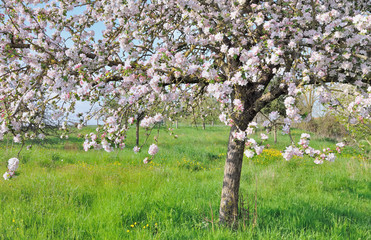 floraison pommier