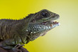 Portrait of beautiful water dragon lizard reptile eating an inse