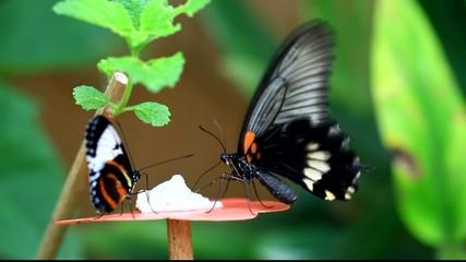 butiner, le papillon