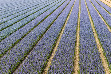 Blue and purple flowering Hyacinth bulbs in a Dutch nursery