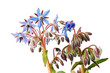 Borage flowers