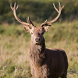 red deer stag, Studley Deer Park, Yorkshire