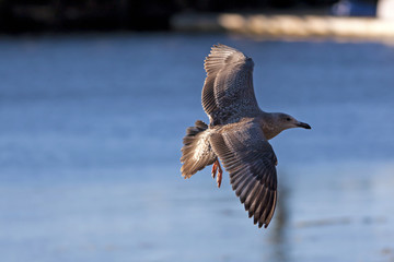 Brown Speckled Seagull