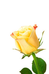 delicate yellow rose isolated on a white
