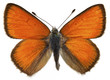 Isolated Purple-edged Copper butterfly
