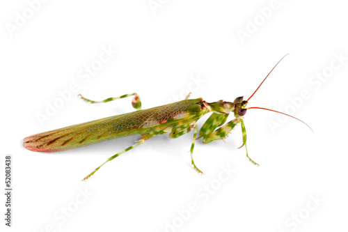 Flower mantid on white