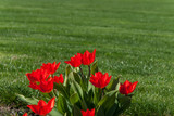 Red tulip flowers 005