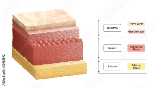 Layers of Human Skin - Cross Section