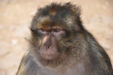 singe de la forêt d'Azrou