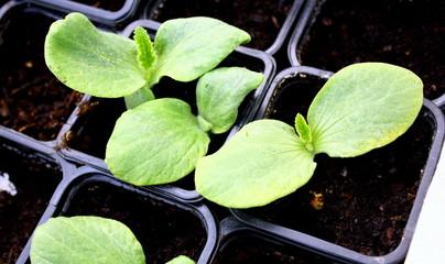 jeunes plantules en croissance