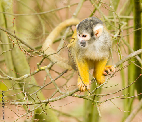 common squirrel monkey playing