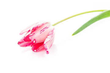 Beautiful pink violet tulip isolated