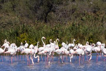 Greater Flamingo (Phoenicopterus roseus) in Camargue