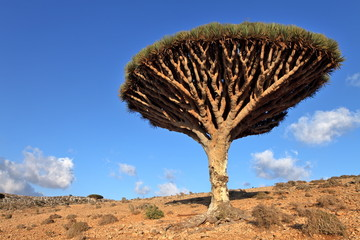 Dragon tree - endemic tree from Soqotra, Yemen