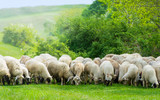 Fototapety Sheep on a field eating grass