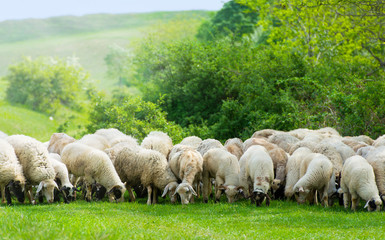 Sheep on a field eating grass