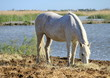 White horse eating, Camargue, France