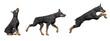 Doberman dog - 3D render