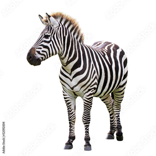 Tuinposter Zebra Zebra isolated on white