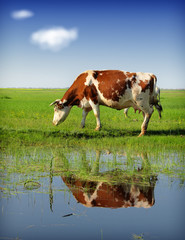 cow pasture grass with reflection in water