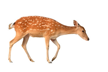 sika deer isolated