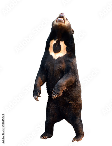 malayan sunbear isolated