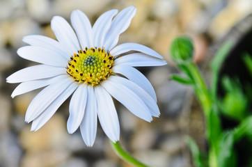 Osteospermum daisy flower in the garden