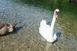 Swans s Lake Near Fussen Germany