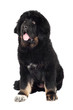 tibetan mastiff puppy sitting portrait