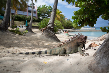 Iguana resting in a caribbean resort