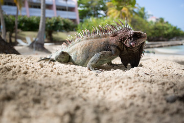 Caribbean Iguana in a resort