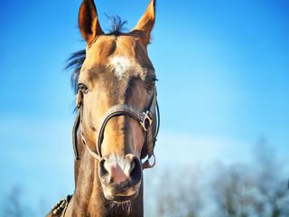 portrait of purebred ahalteke  stallion at blue sky background