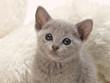 笑顔が可愛いロシアンブルーの子猫