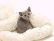 振り向いたロシアンブルーの子猫