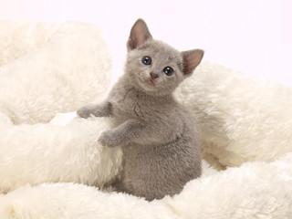 可愛いロシアンブルーの子猫
