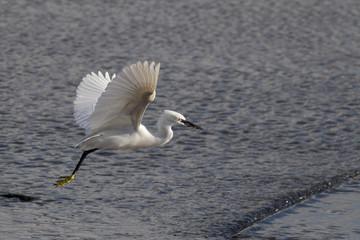 White egret flight