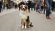 Australian shepherd sitting in a crowded street