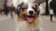 Close-up of an Australian shepherd sitting in a crowded street
