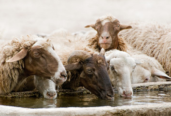 sheep at the fountain