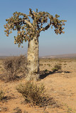 Cucumber tree, Dendrosicyos socotranus - endemic of Socotra