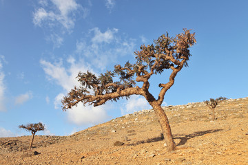 Boswellia - a frankincense tree - endemic of Socotra
