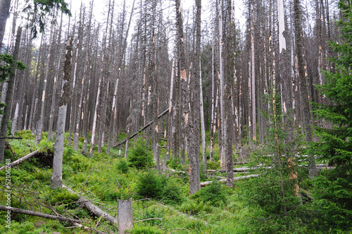 Destroyed forest, dry tree, - Polish Tatra mountains