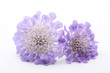 Purple scabiose